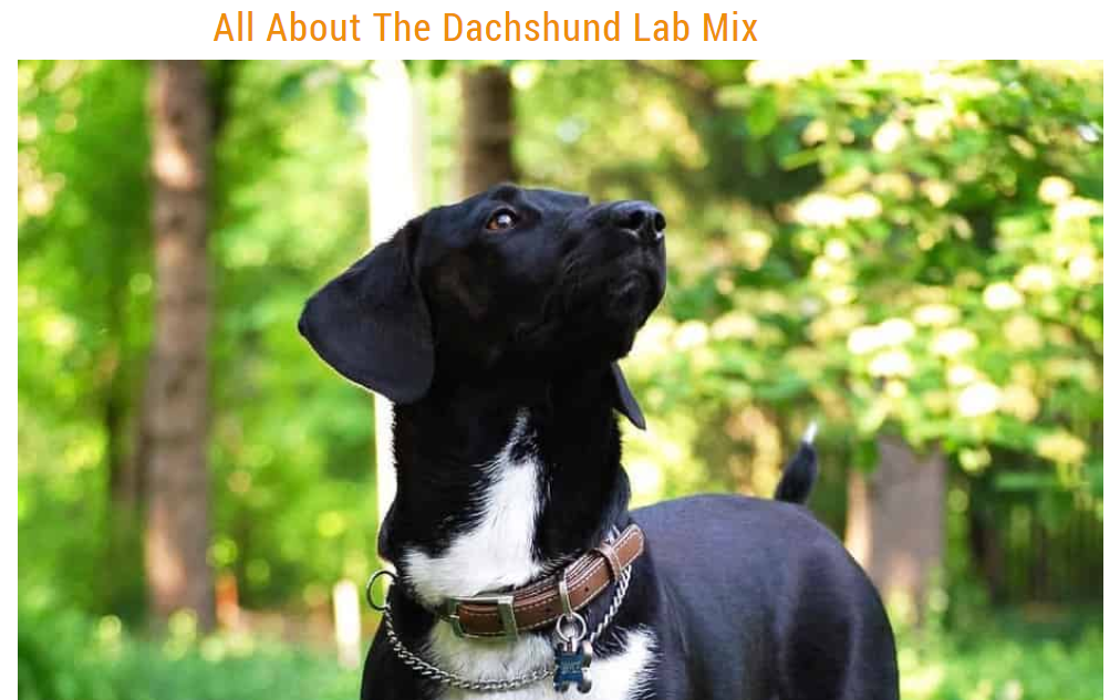 all about the Dachshund lab mix